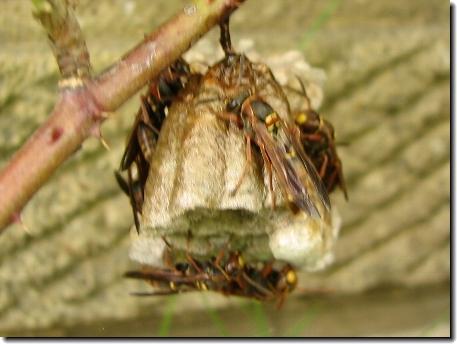 アシナガバチの巣!